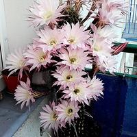 Echinopsis /kaktus/......