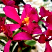 Epidendrum Red.   Ma