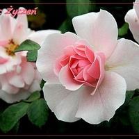 Imieninowa różyczka dla Gieni:)