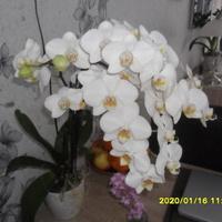 Jeden z moich orchidei