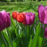 Kolorowe tulipanki! :)