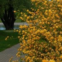 krzew kwitnący w parku