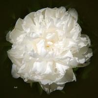 Kwiat biały jak śnieg