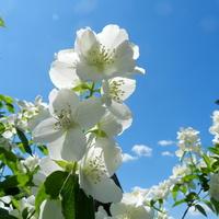 Kwiat jaśminu i błękit nieba