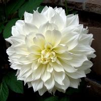 Kwiat prawie biały jak śnieg