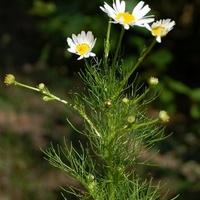 Kwiatek łąkowy