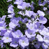 Kwiaty fioletowe do ogrodu