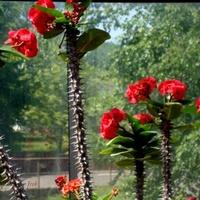 Kwitnące kaktusy w szklarni w O.B.