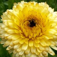 Nagietek,słoneczny kwiat