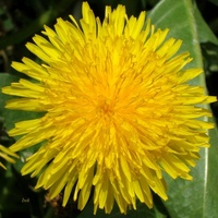 Żółty kwiat jak słońce które kiedyś widziałem
