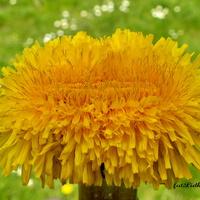 Żółty kwiat...