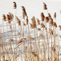 Ozdobna trawa i śnieg