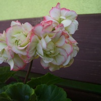 Pelargonia Appleblossom
