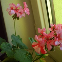 Pelargonia Vinnie T.