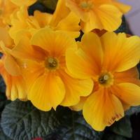 Primula w słonecznej tonacji.....