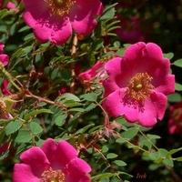 róże drobniejsze