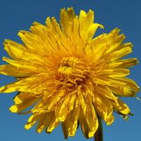 Słoneczny polny kwiatuszek