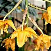 Stanhopea Oculata .