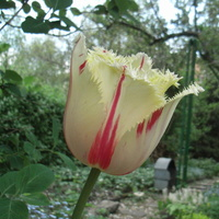 Taki tam tulipek....