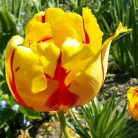 Tulipan, wiosenny słoneczny kwiat