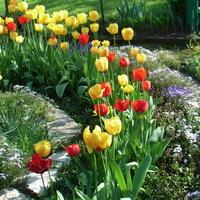 Tulipanowy ,,zawrót