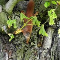 Wiewiórka -Ruda Kitka