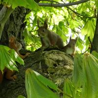Wiewiórka-Ruda Kitka