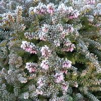 Wrzosiec -zimowe kwiaty