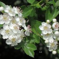 Zamiast śniegu, białe kwiatuszki