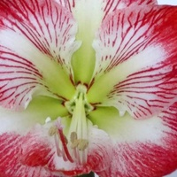 Zwartnica, (amarylis)