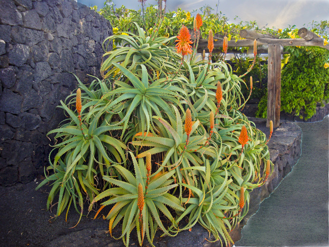 Aloes.....