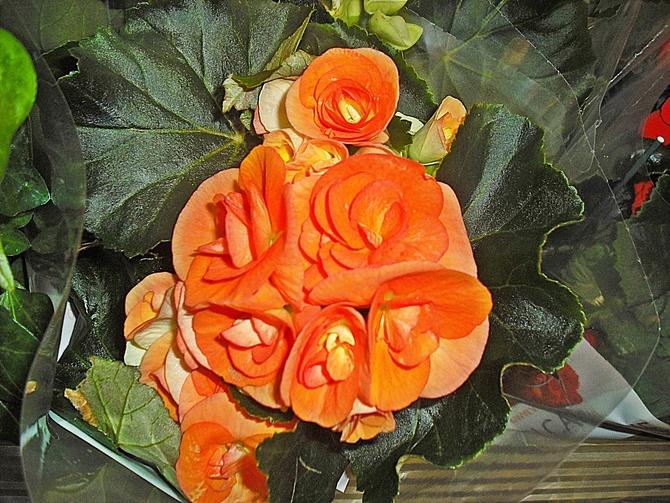 Begonia pomarańczowa....
