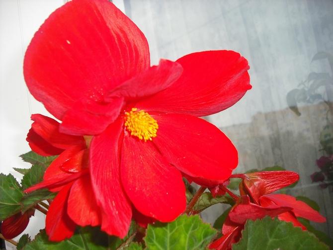 ..#Begonia w gorącym kolorze,na rozgrzewkę....