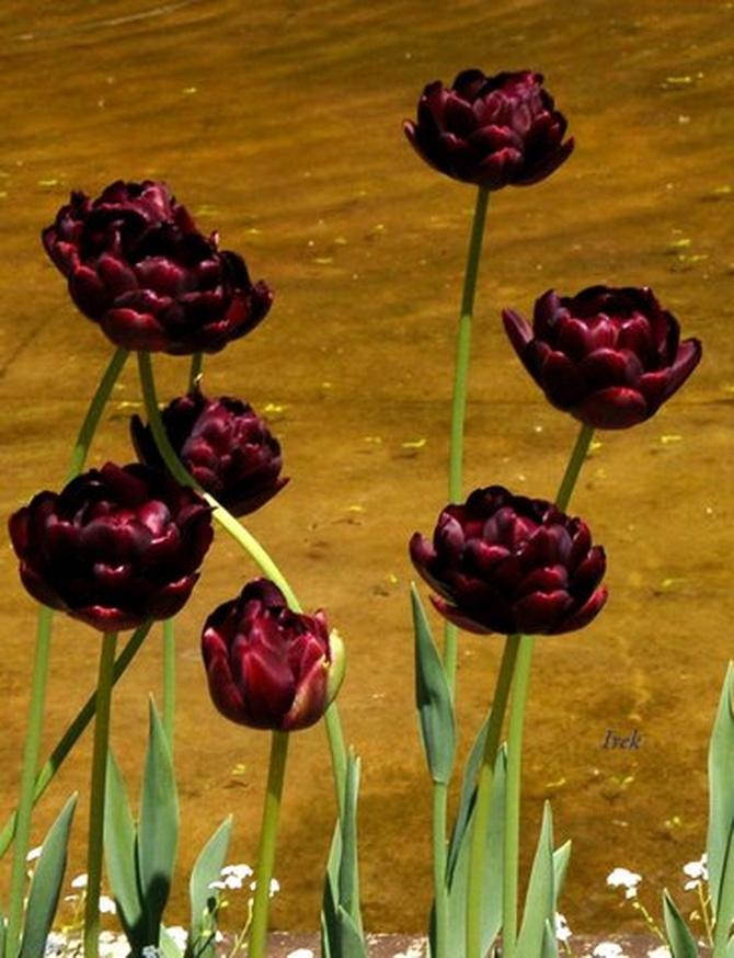 ciemne tulipany