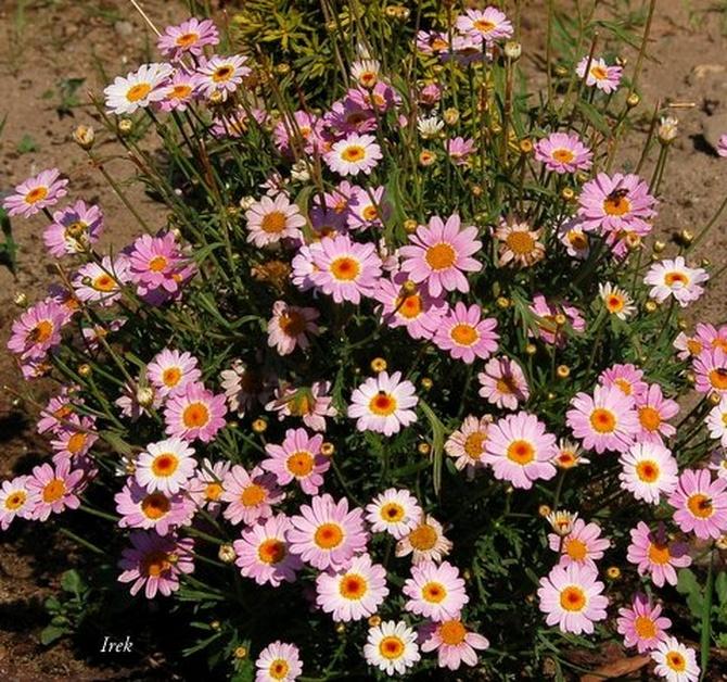 drobne kwiaty różowe