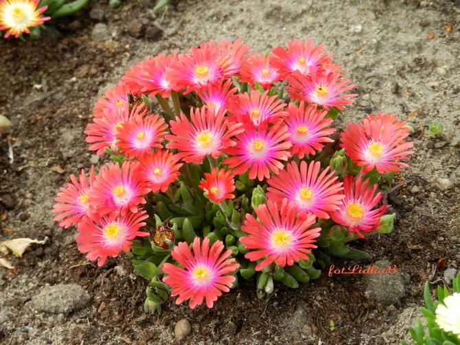 Kwiaty czerwone na skalniak