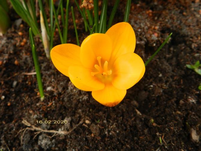 Kwitną krokusy