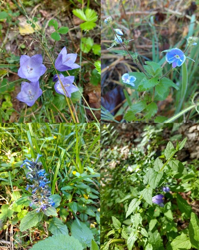 Niebieskie kwiaty dziko rosnące