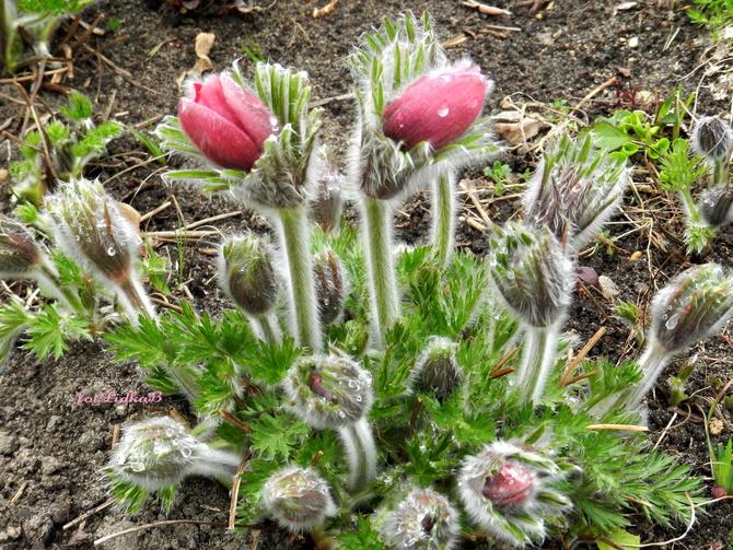 Pąki kwiatowe,sasanka