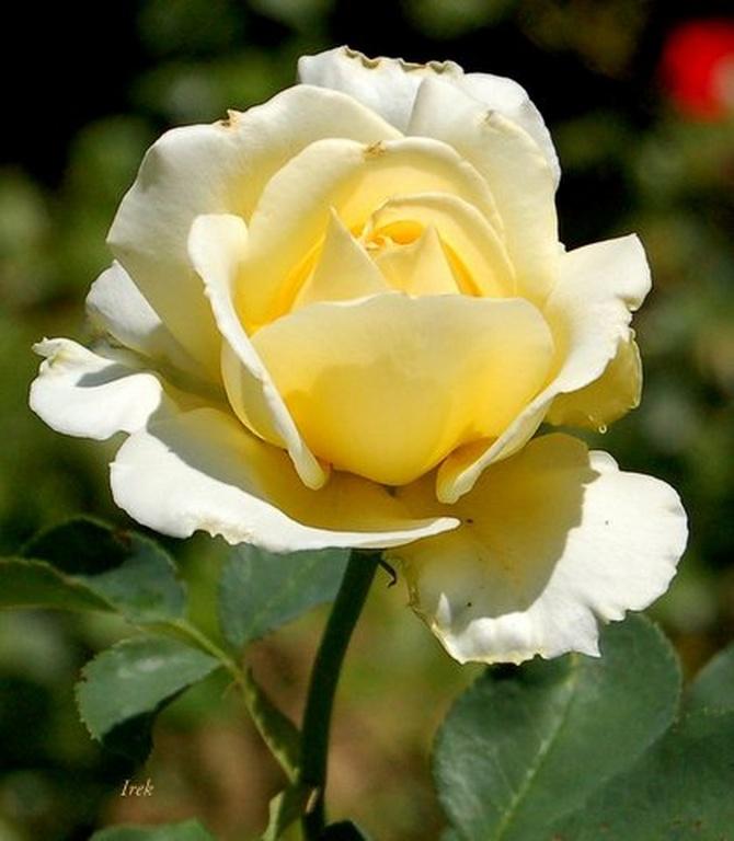 pachnąca róża