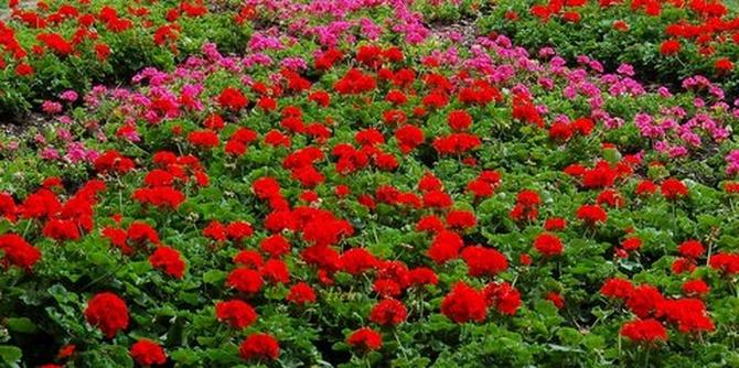 Pelargonie na kwietniku w stołecznym parku
