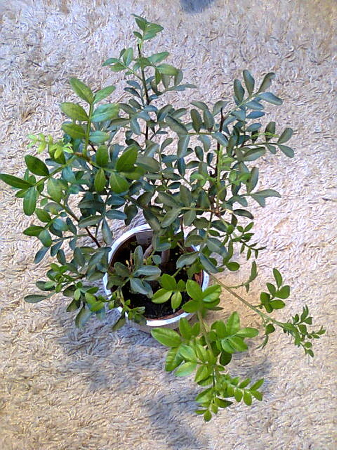 Pistacja kleista-Pistacia lenticus