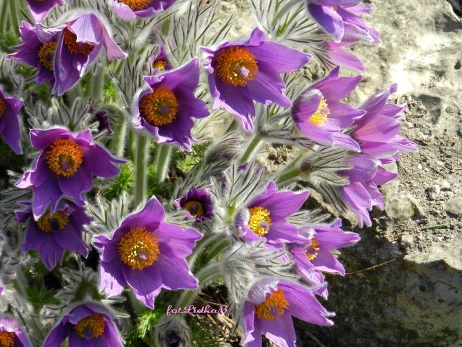 Sasanki fioletowe