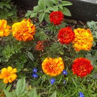 Aksamitka - bardzo pomarańczowa.