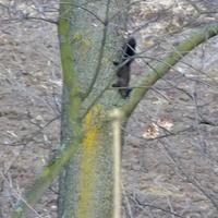Czarna wiewiórka