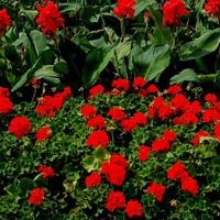 Czerwone kwiaty w parku