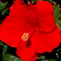 czerwony kwiat, róża chińska