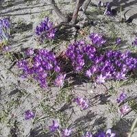 Czuć już wiosnę...krokusowe poletko ...