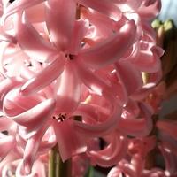 Dla Uli - różowo i pachnąco.
