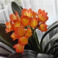 (((Dorzucam pomarańczowy kwiat Kliwi....)))